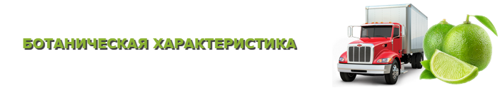 img-limon-lime-citrys-ttk-sl-com-508
